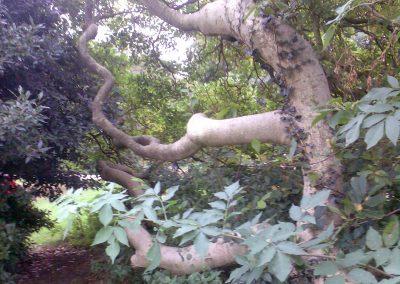 Unusual Tree in Holywells Park. Photo: Sheila Roughton