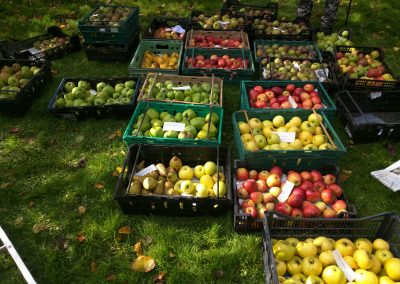 Apples harvested in Holywells Park Orchard,  Oct. 2017. Photo: Richard Bloomfield