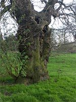 Ancient tree in Holywells Park