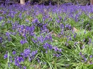 Bluebells in Holywells Park. Photo: Richard Bloomfield