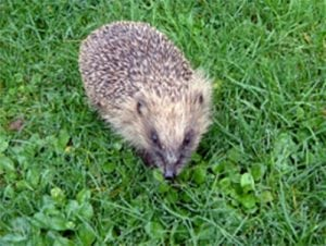 Hedgehog. Photo: IBC