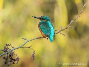 Holywells kingfisher print. Photo: www.parrishcolmanphotography.co.uk