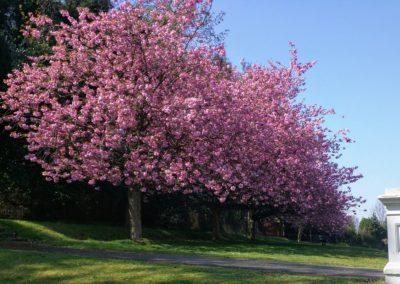 Blossom Holywells Park April 2019